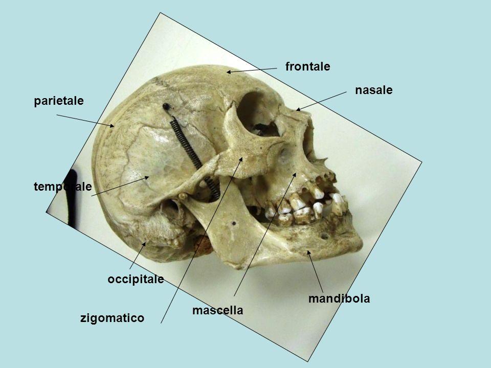 frontale nasale parietale temporale occipitale mandibola mascella zigomatico
