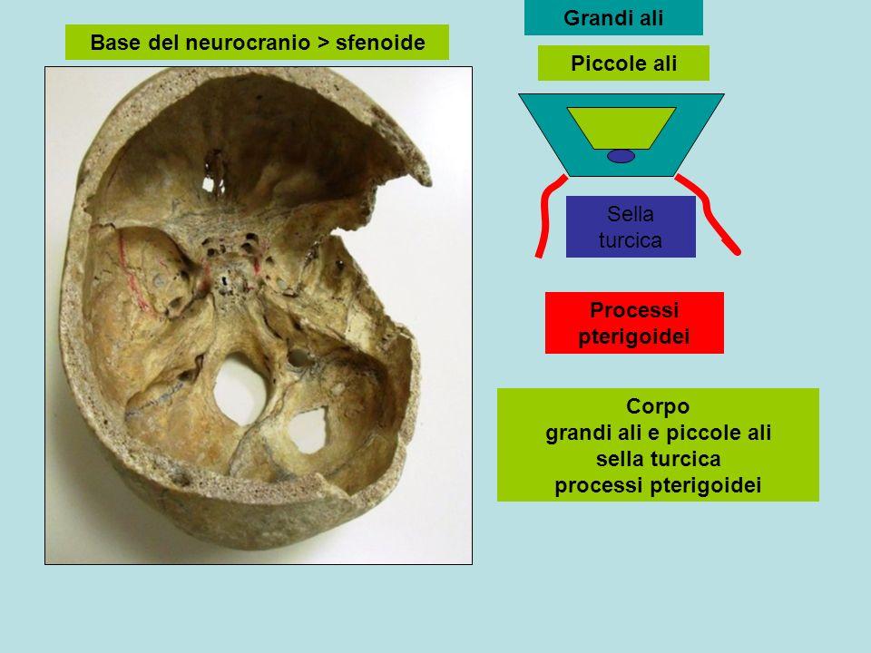 Base del neurocranio > sfenoide Piccole ali