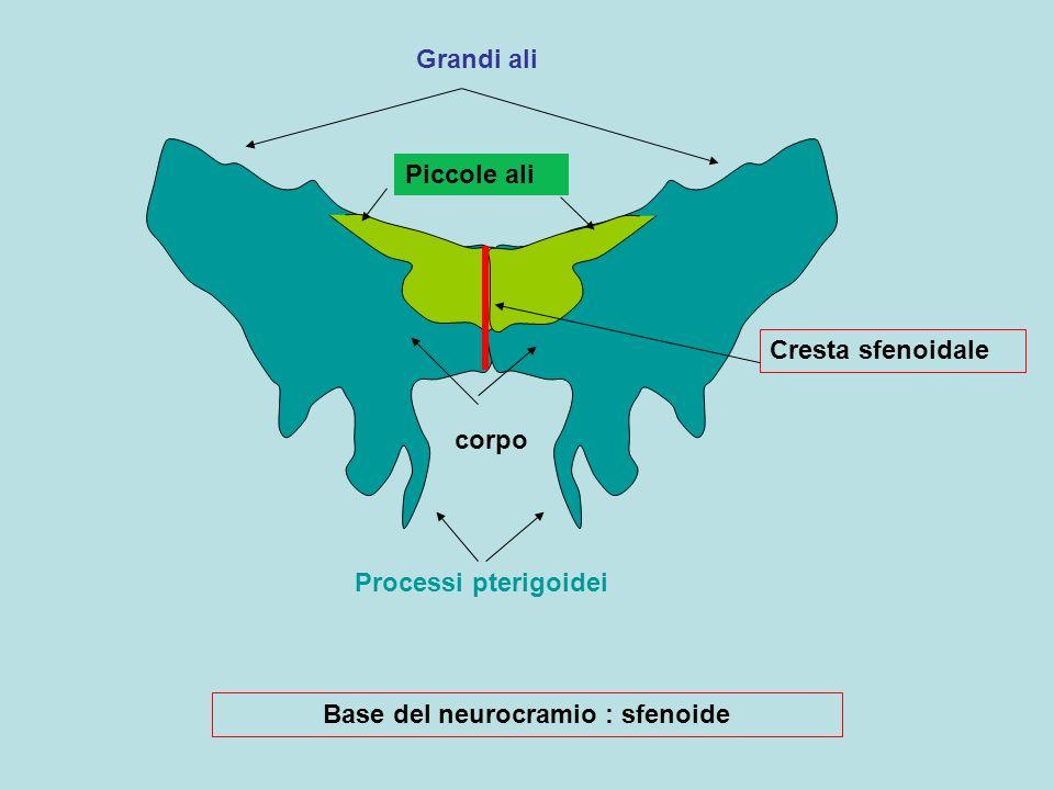 Base del neurocramio : sfenoide