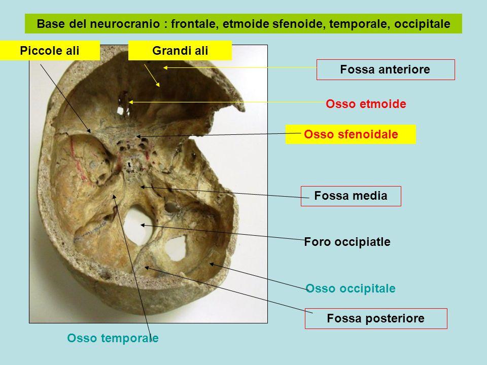 Base del neurocranio : frontale, etmoide sfenoide, temporale, occipitale