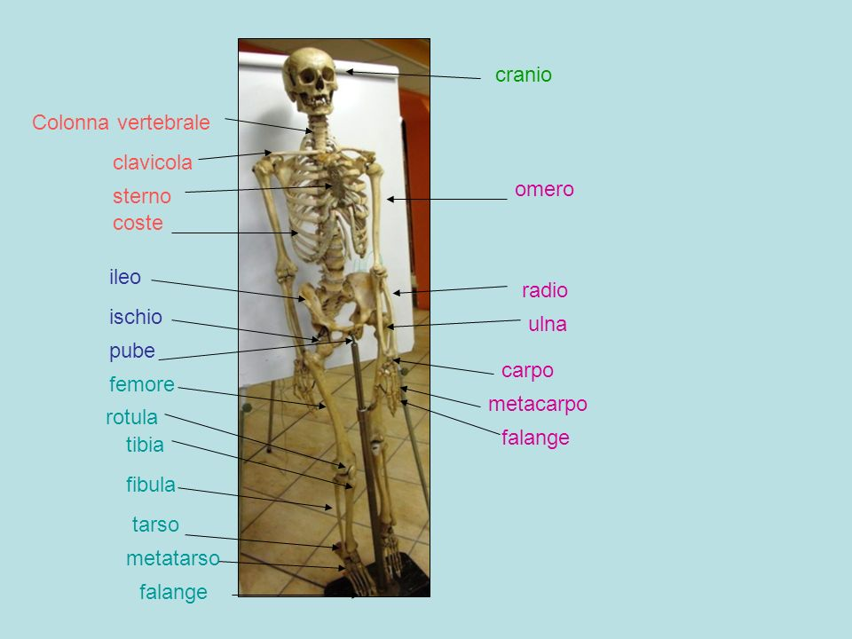 cranioColonna vertebrale. clavicola. omero. sterno. coste. ileo. radio. ischio. ulna. pube. carpo. femore.