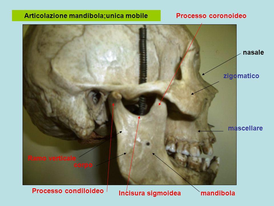 Articolazione mandibola;unica mobile