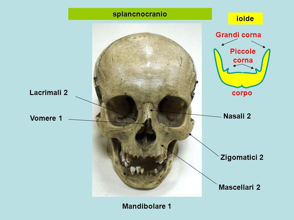 splancnocranio ioide. Grandi corna. Piccole corna. Lacrimali 2. corpo. Nasali 2. Vomere 1. Zigomatici 2.