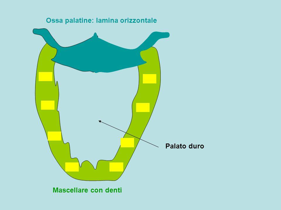 Ossa palatine: lamina orizzontale