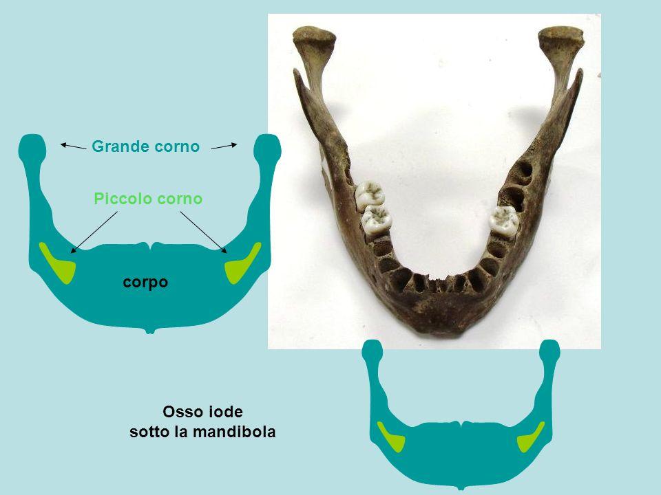 Osso iode sotto la mandibola