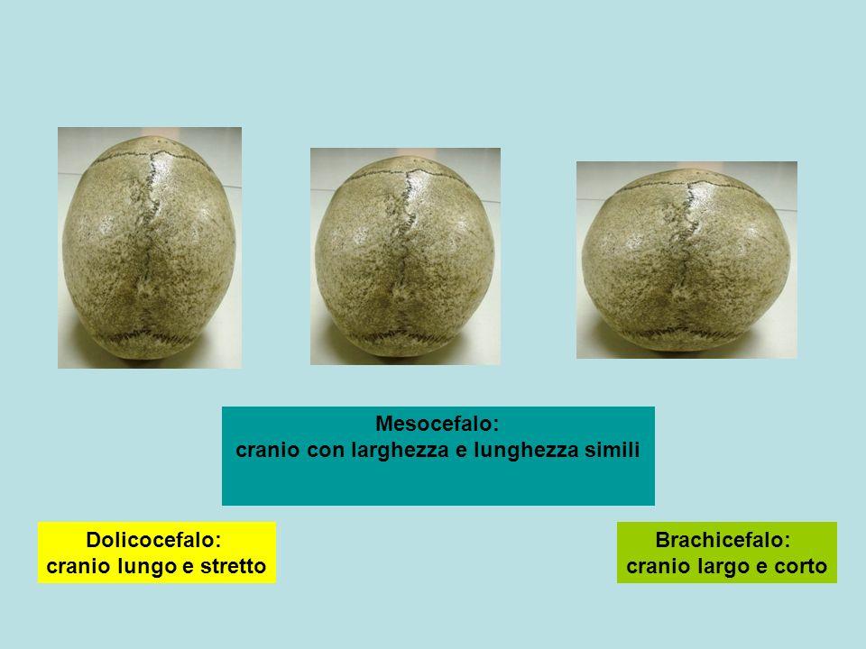 Brachicefalo: cranio largo e corto
