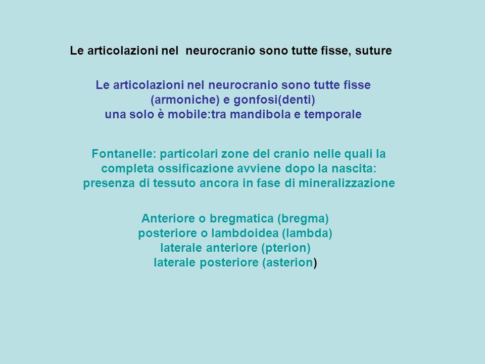Le articolazioni nel neurocranio sono tutte fisse, suture