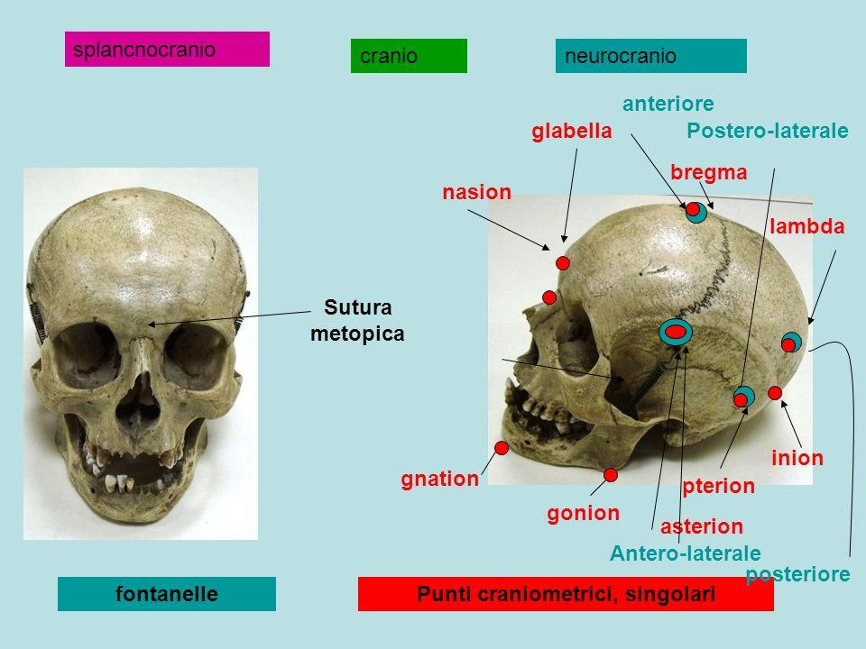 Punti craniometrici, singolari