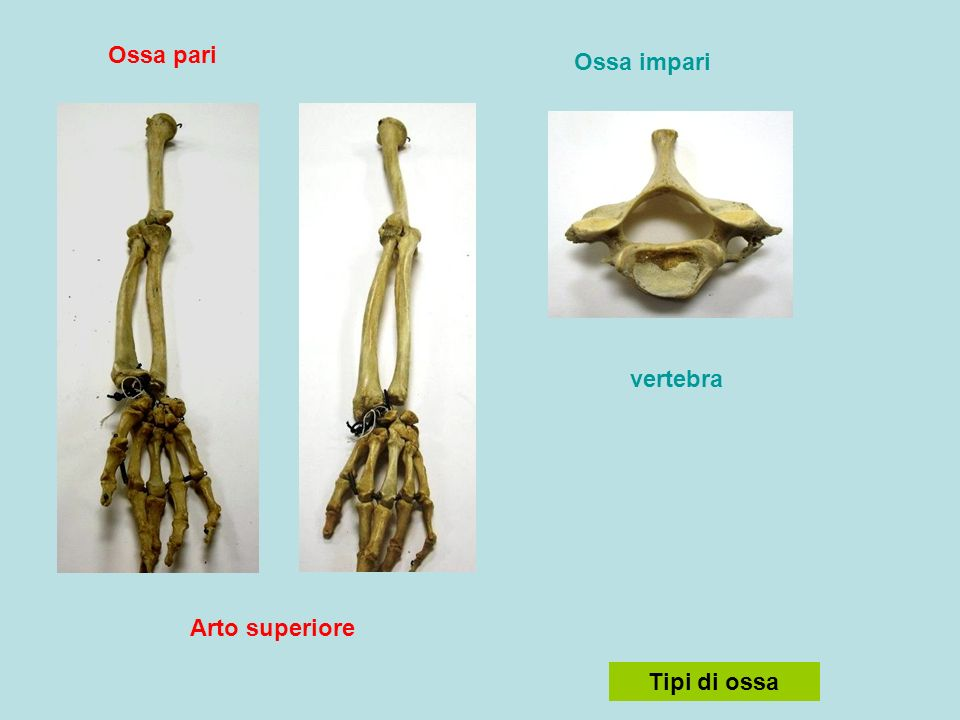 Ossa pari Ossa impari vertebra Arto superiore Tipi di ossa