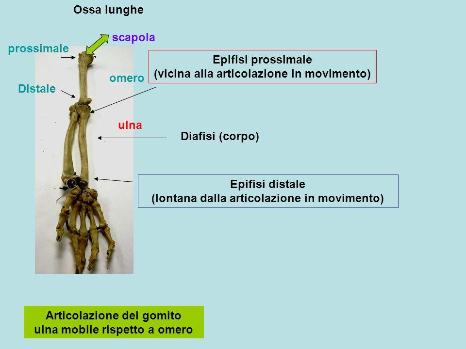 Epifisi prossimale (vicina alla articolazione in movimento)