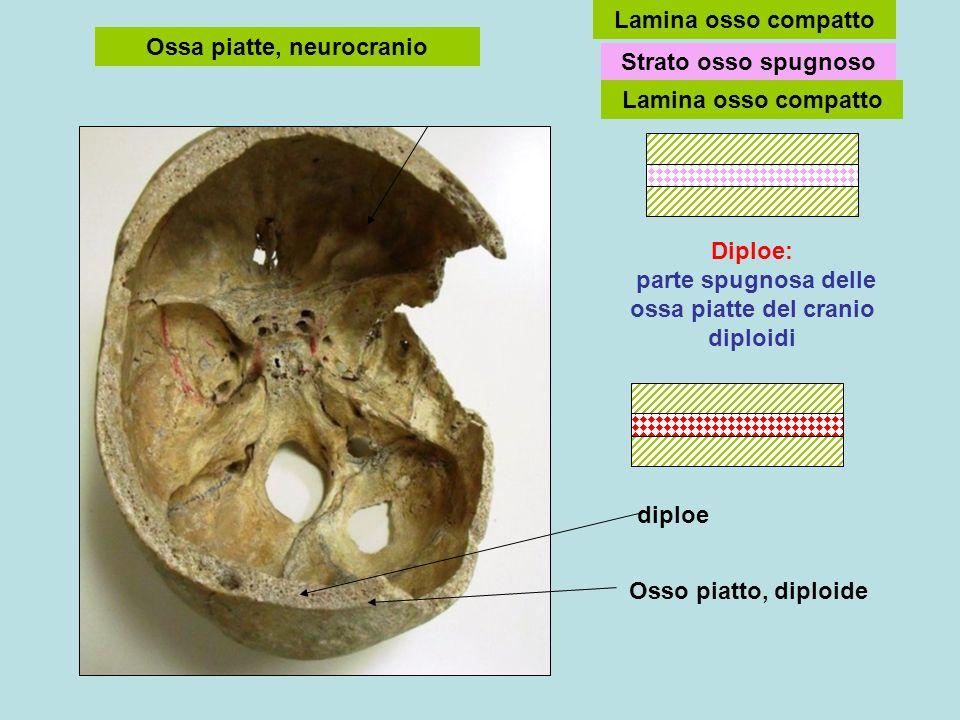 Ossa piatte, neurocranio Strato osso spugnoso