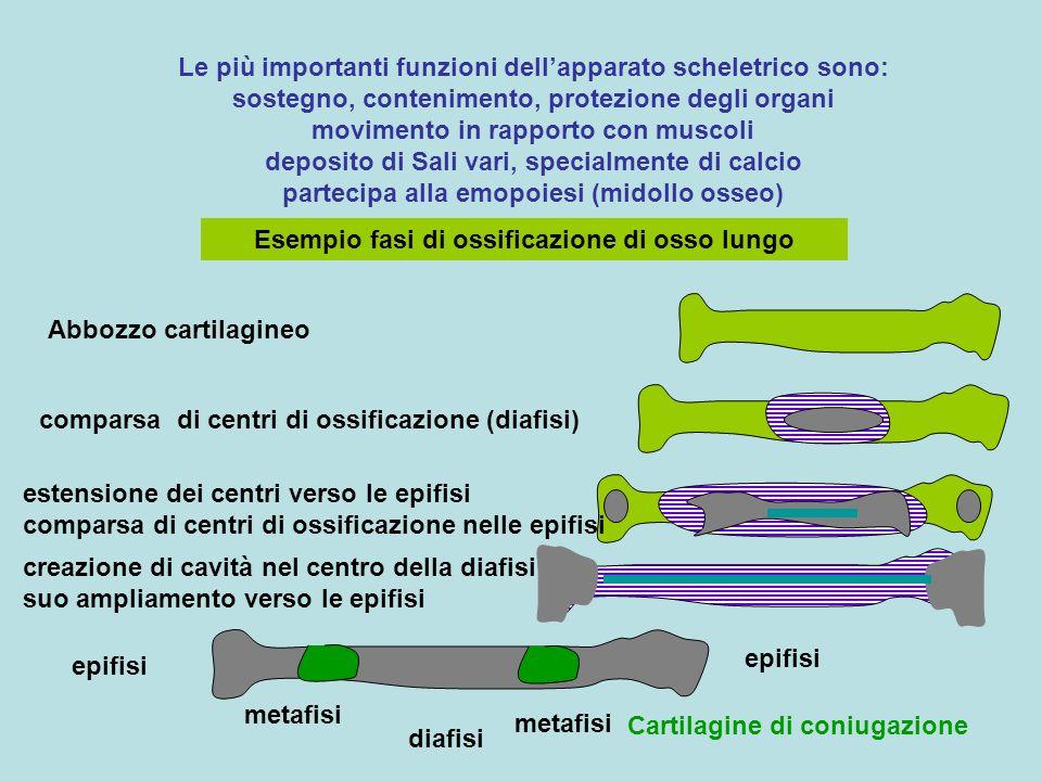 Esempio fasi di ossificazione di osso lungo