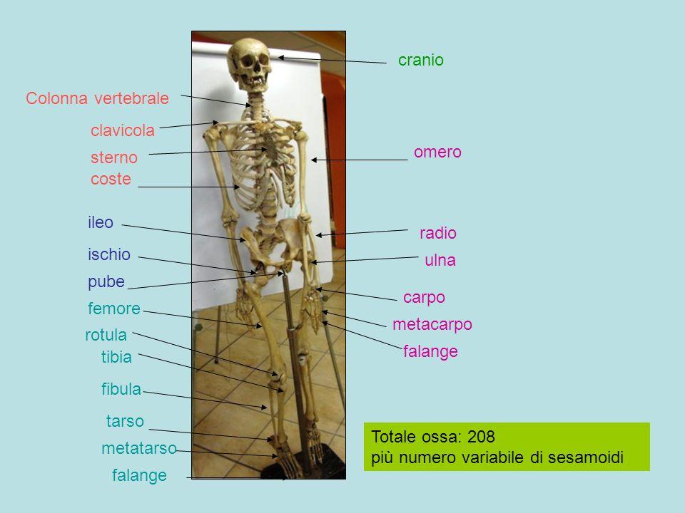 cranio Colonna vertebrale. clavicola. omero. sterno. coste. ileo. radio. ischio. ulna. pube.