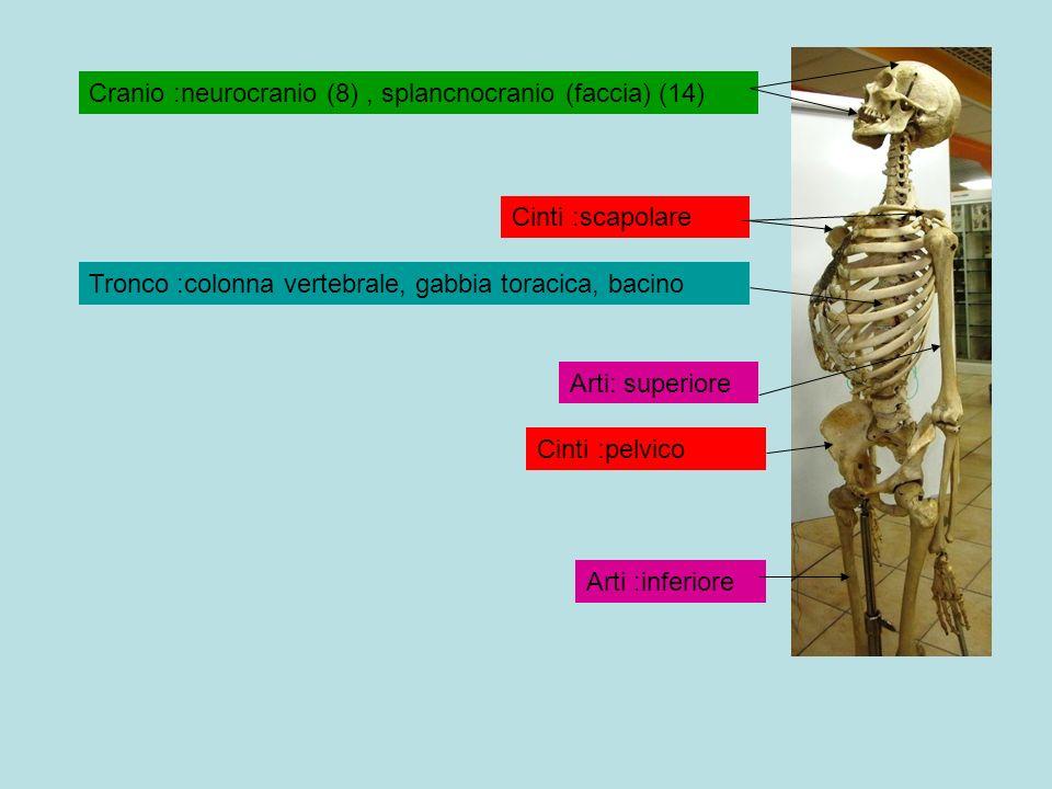 Cranio :neurocranio (8) , splancnocranio (faccia) (14)