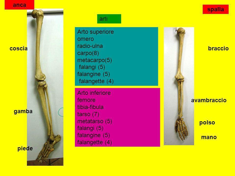 anca spalla. arti. Arto superiore omero radio-ulna carpo(8) metacarpo(5) falangi (5) falangine (5) falangette (4)