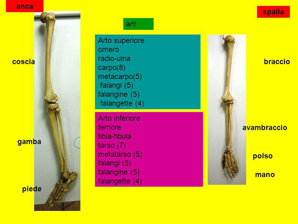 ancaspalla. arti. Arto superiore omero radio-ulna carpo(8) metacarpo(5) falangi (5) falangine (5) falangette (4)