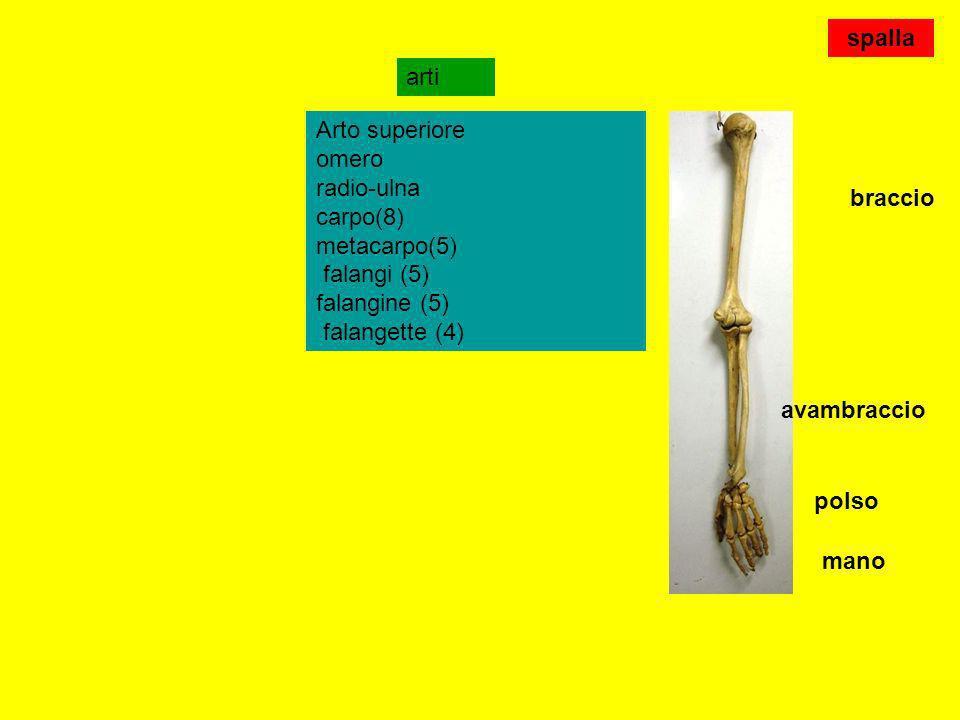 spallaarti. Arto superiore omero radio-ulna carpo(8) metacarpo(5) falangi (5) falangine (5) falangette (4)