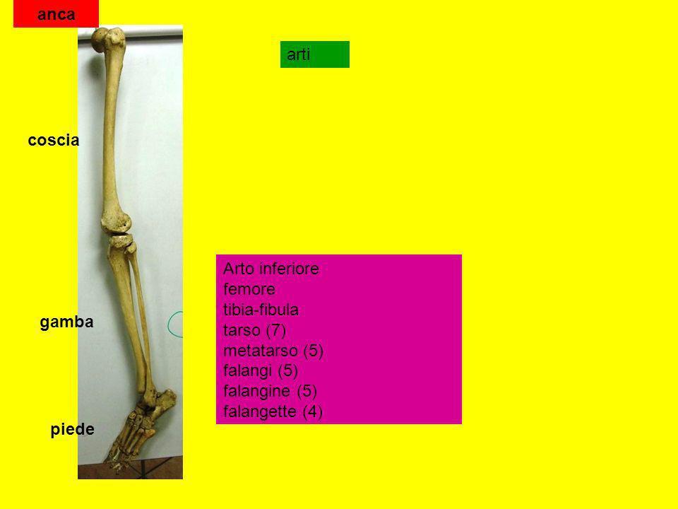 anca arti. coscia. Arto inferiore femore tibia-fibula tarso (7) metatarso (5) falangi (5) falangine (5) falangette (4)