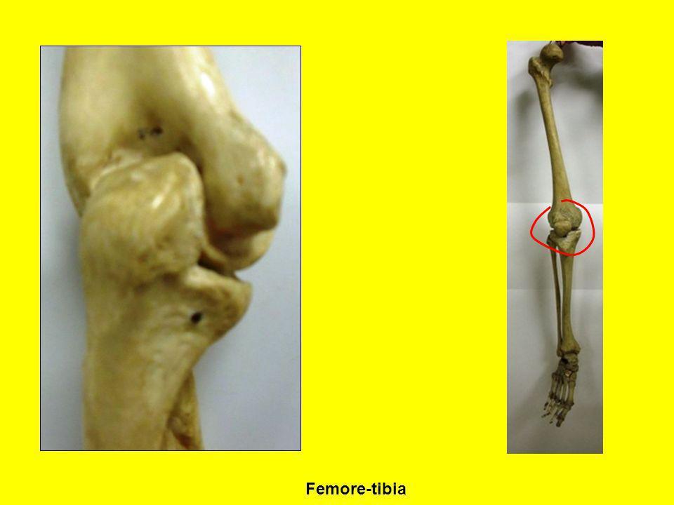 Femore-tibia