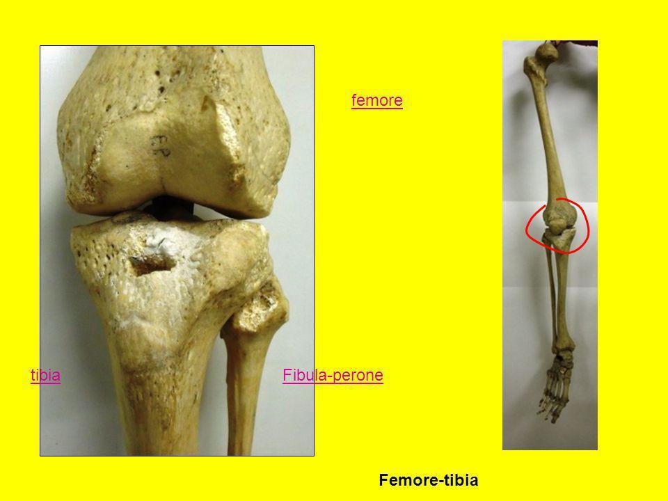 femore tibia Fibula-perone Femore-tibia