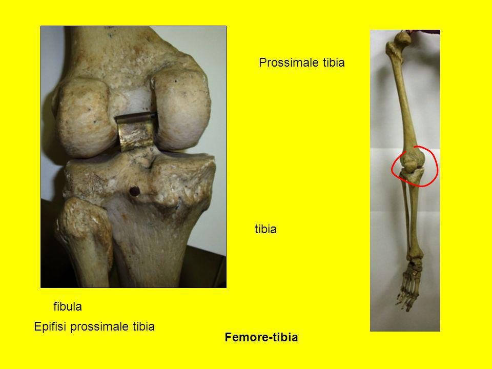 Prossimale tibia tibia fibula Epifisi prossimale tibia Femore-tibia