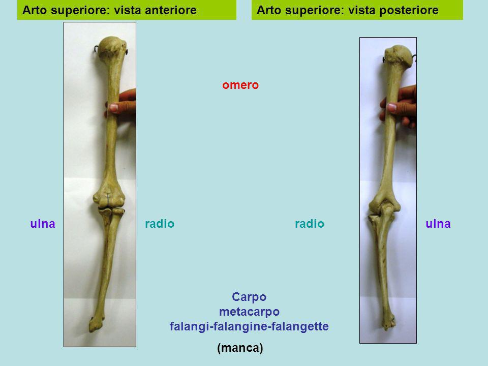 Carpo metacarpo falangi-falangine-falangette