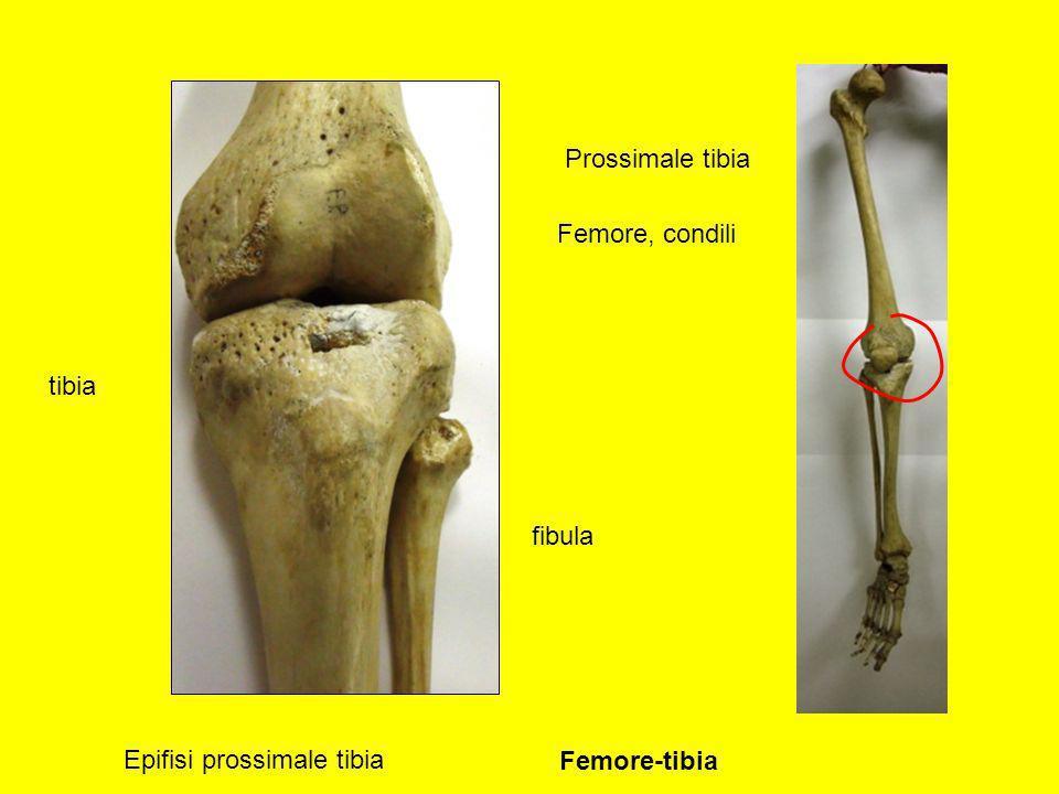 Prossimale tibia Femore, condili tibia fibula Epifisi prossimale tibia Femore-tibia