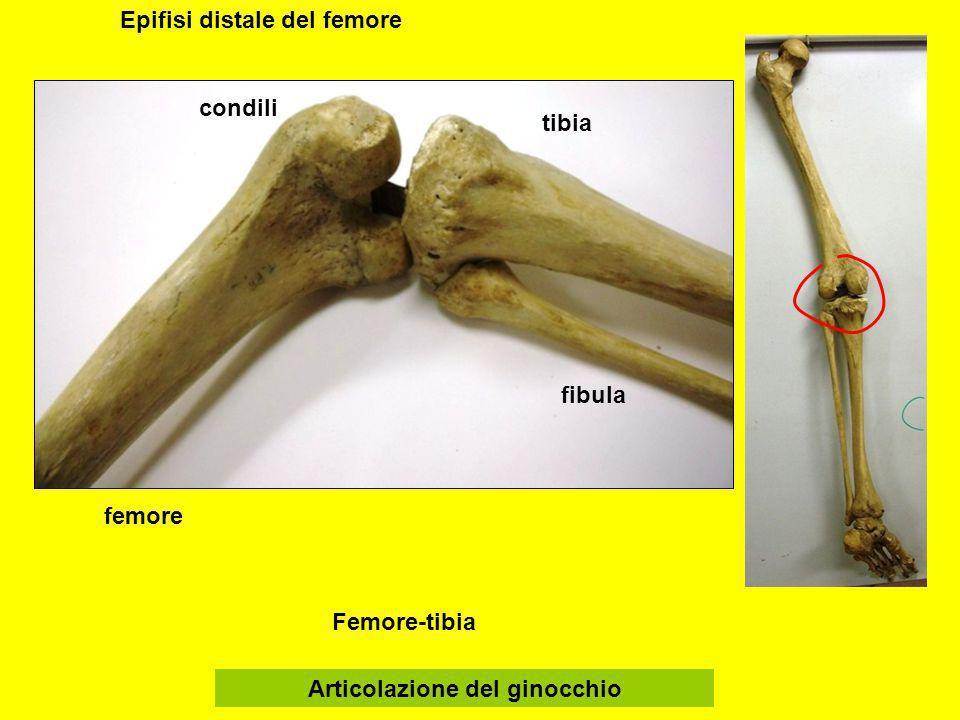 Epifisi distale del femore Articolazione del ginocchio