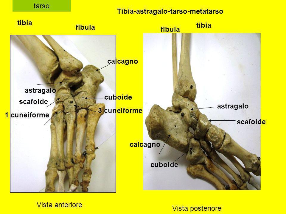 Tibia-astragalo-tarso-metatarso