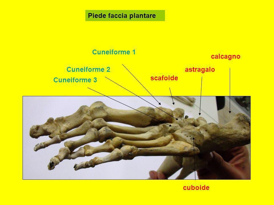 Piede faccia plantare Cuneiforme 1 calcagno Cuneiforme 2 astragalo scafoide Cuneiforme 3 cuboide