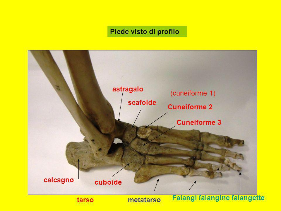 Piede visto di profiloastragalo. (cuneiforme 1) scafoide. Cuneiforme 2. Cuneiforme 3. calcagno. cuboide.