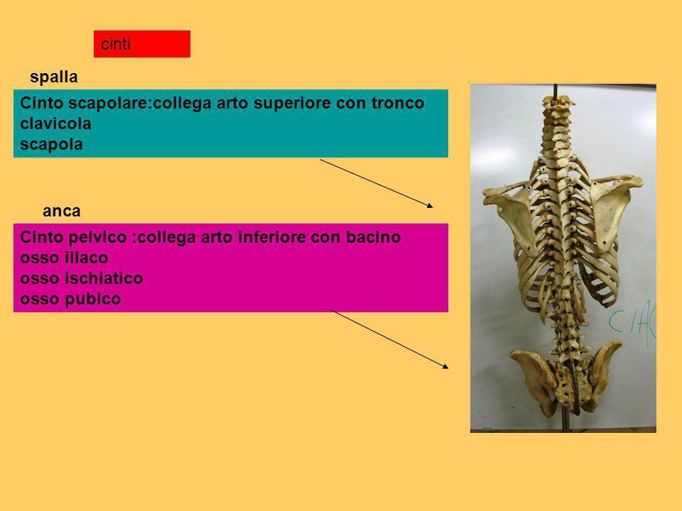 cintispalla. Cinto scapolare:collega arto superiore con tronco clavicola scapola. anca.