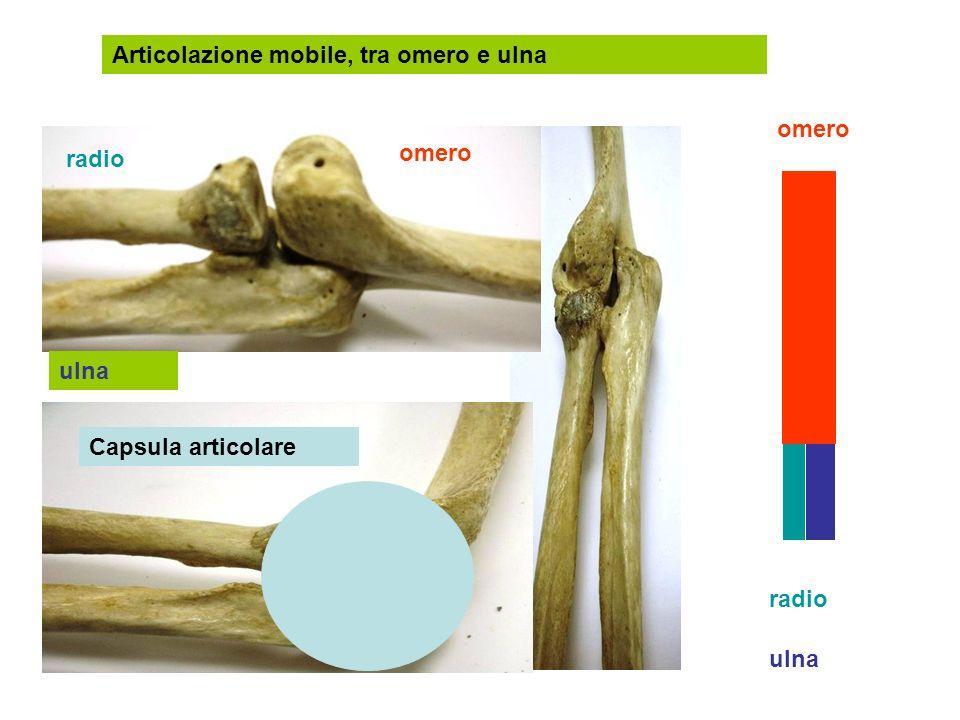 Articolazione mobile, tra omero e ulna