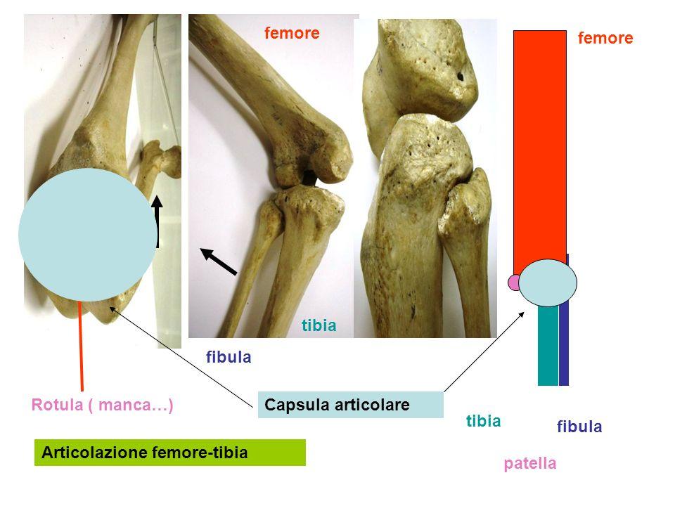 femore femore. tibia. fibula. Rotula ( manca…) Capsula articolare. tibia. fibula. Articolazione femore-tibia.
