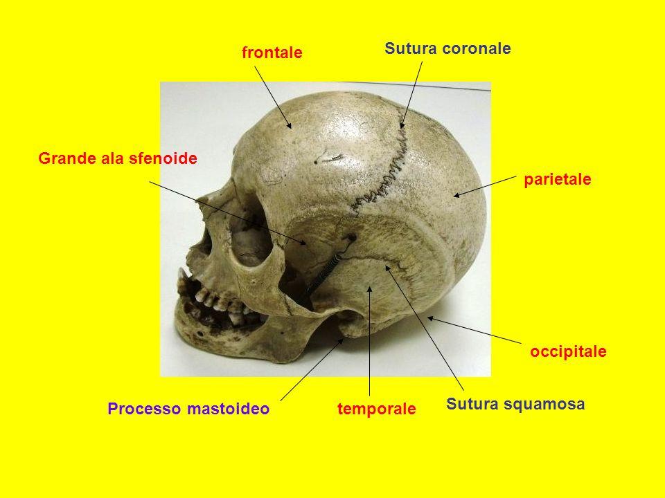 frontale Sutura coronale. Grande ala sfenoide. parietale. occipitale. Sutura squamosa. Processo mastoideo.