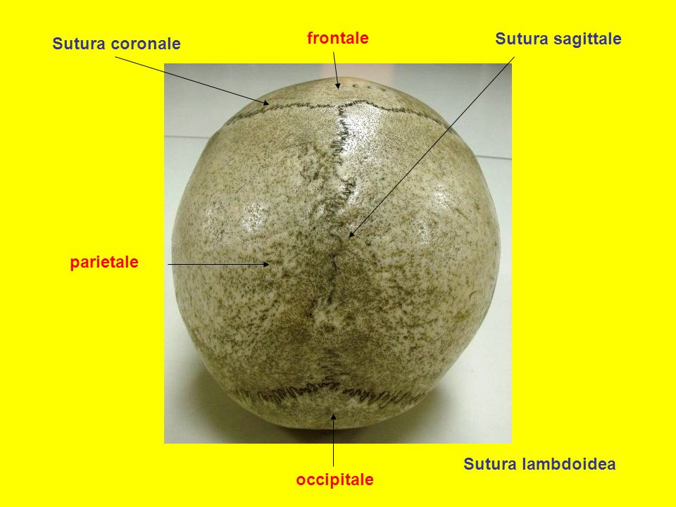 frontale Sutura sagittale Sutura coronale parietale Sutura lambdoidea occipitale