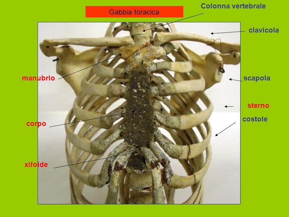 Colonna vertebrale Gabbia toracica clavicola manubrio scapola sterno costole corpo xifoide