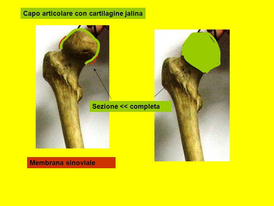 Capo articolare con cartilagine jalina
