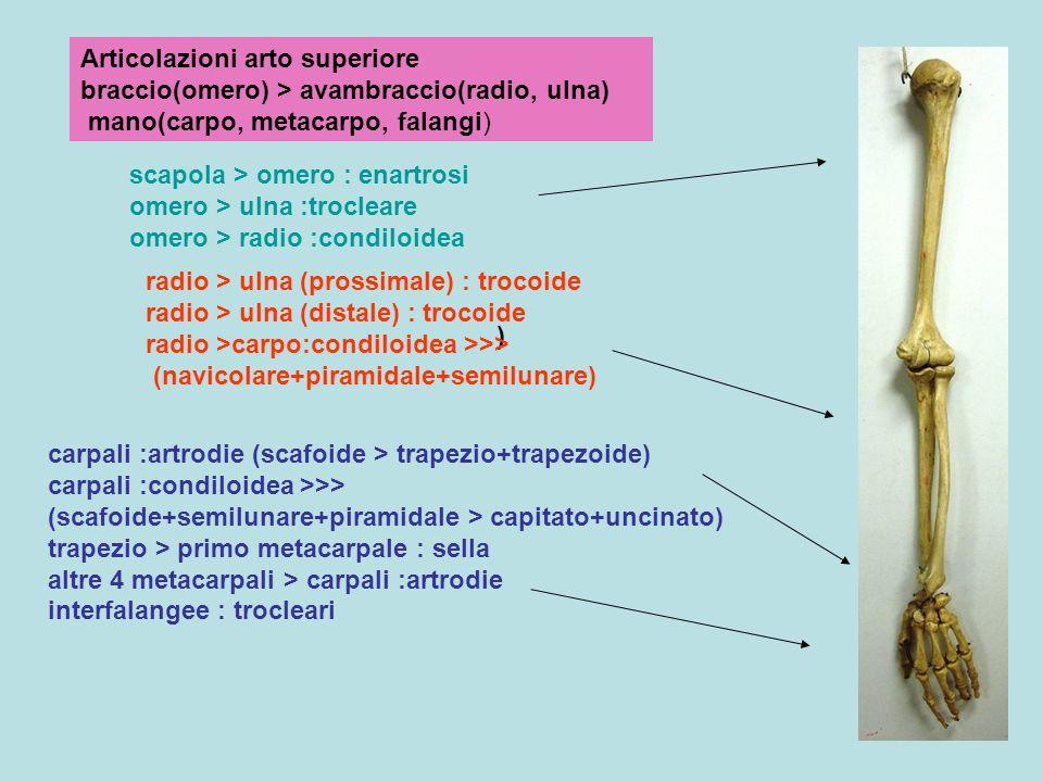 Articolazioni arto superiore braccio(omero) > avambraccio(radio, ulna) mano(carpo, metacarpo, falangi)