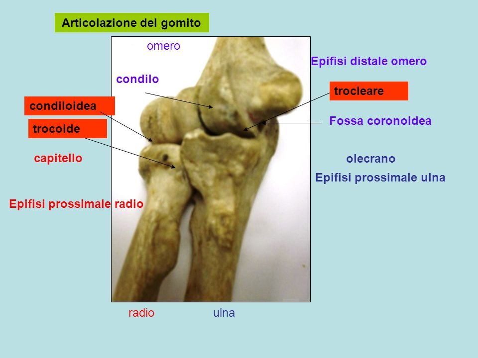 Articolazione del gomito