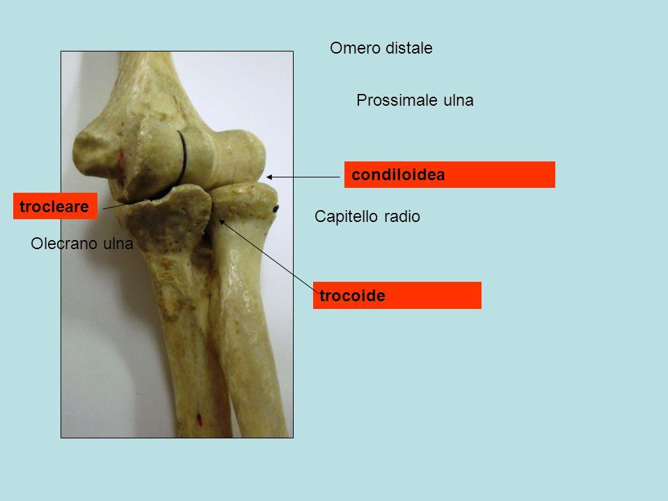 Omero distale Prossimale ulna condiloidea trocleare Capitello radio Olecrano ulna trocoide