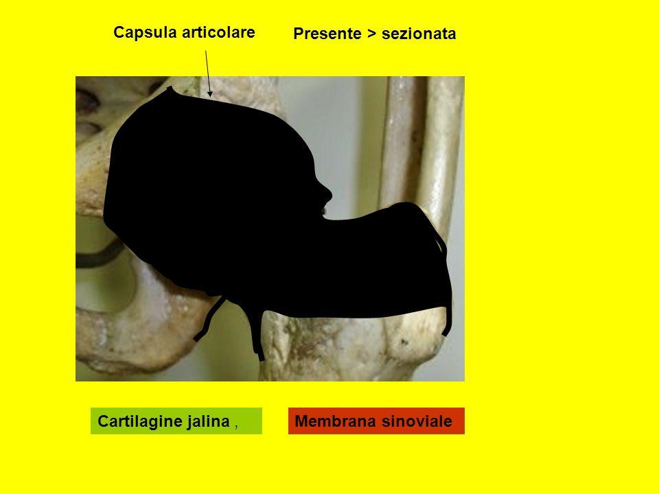 Capsula articolare Presente > sezionata Cartilagine jalina , Membrana sinoviale