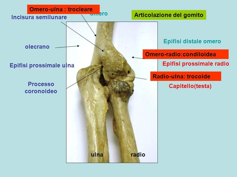 Omero-ulna : trocleare omero Articolazione del gomito