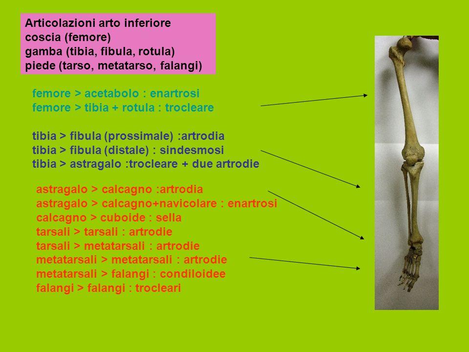 Articolazioni arto inferiore coscia (femore) gamba (tibia, fibula, rotula) piede (tarso, metatarso, falangi)