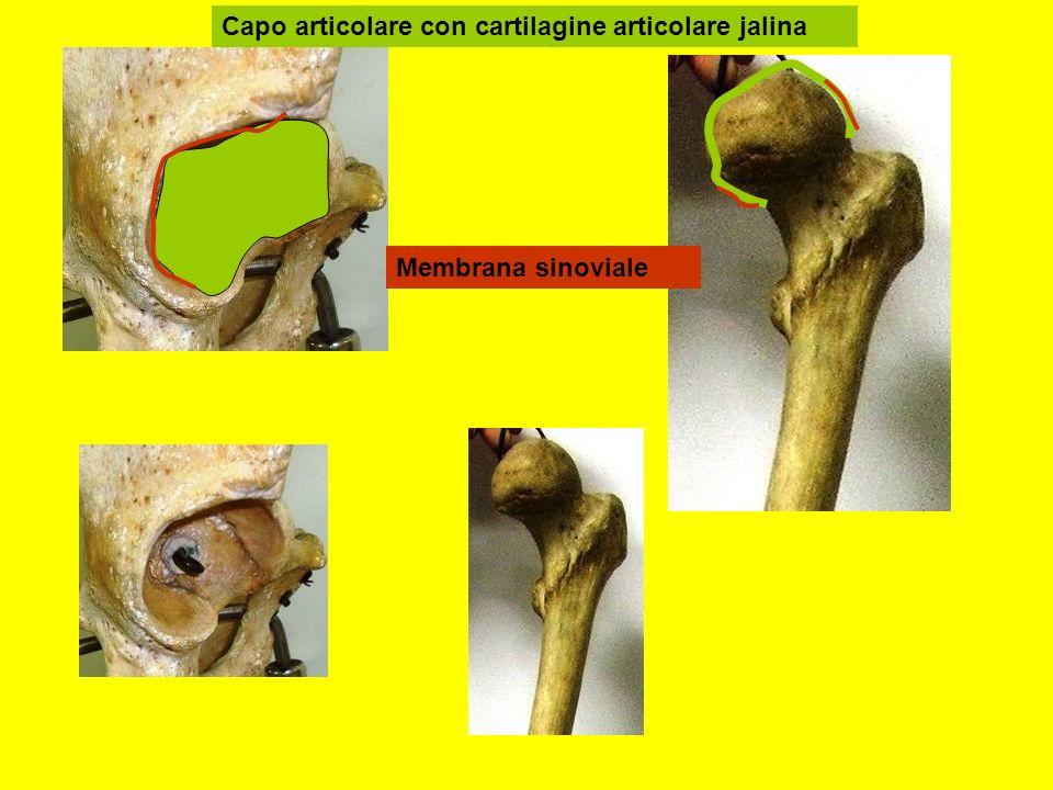 Capo articolare con cartilagine articolare jalina