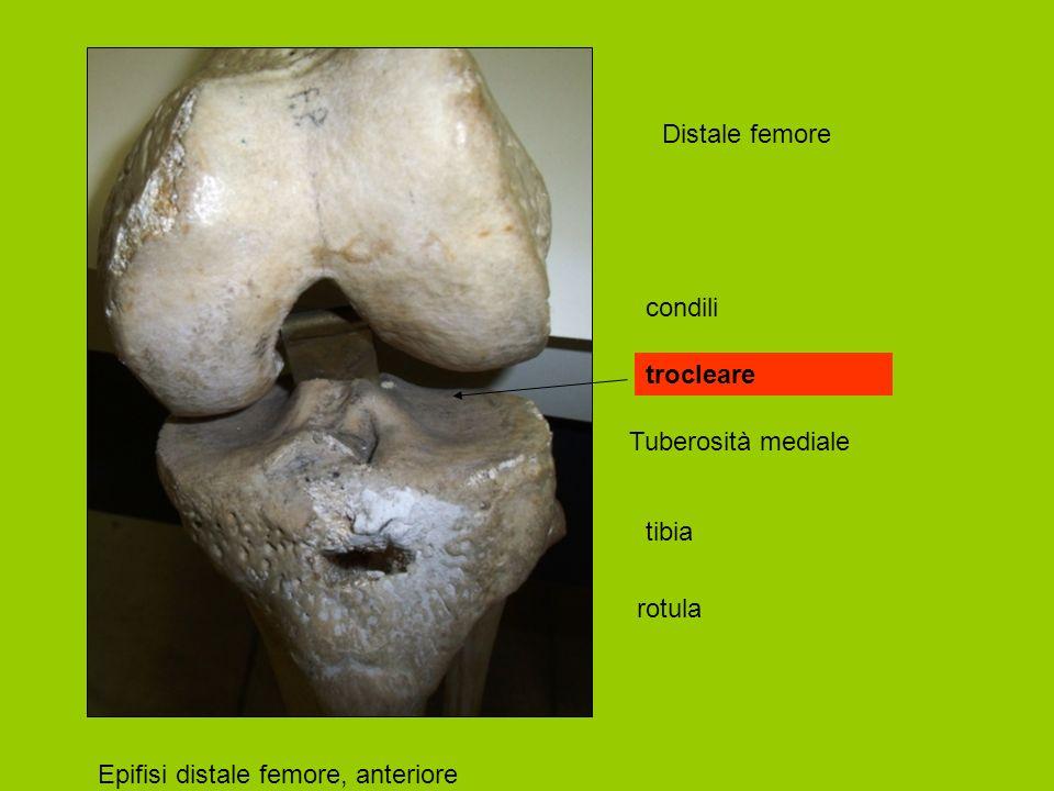 Distale femore condili trocleare Tuberosità mediale tibia rotula Epifisi distale femore, anteriore