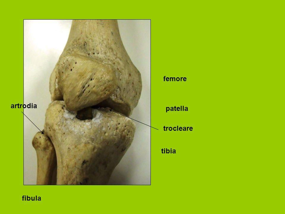 femore artrodia patella trocleare tibia fibula