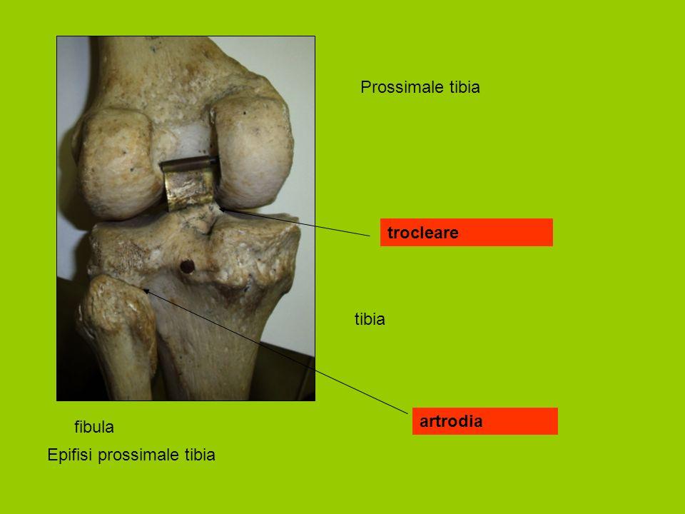 Prossimale tibia trocleare tibia artrodia fibula Epifisi prossimale tibia
