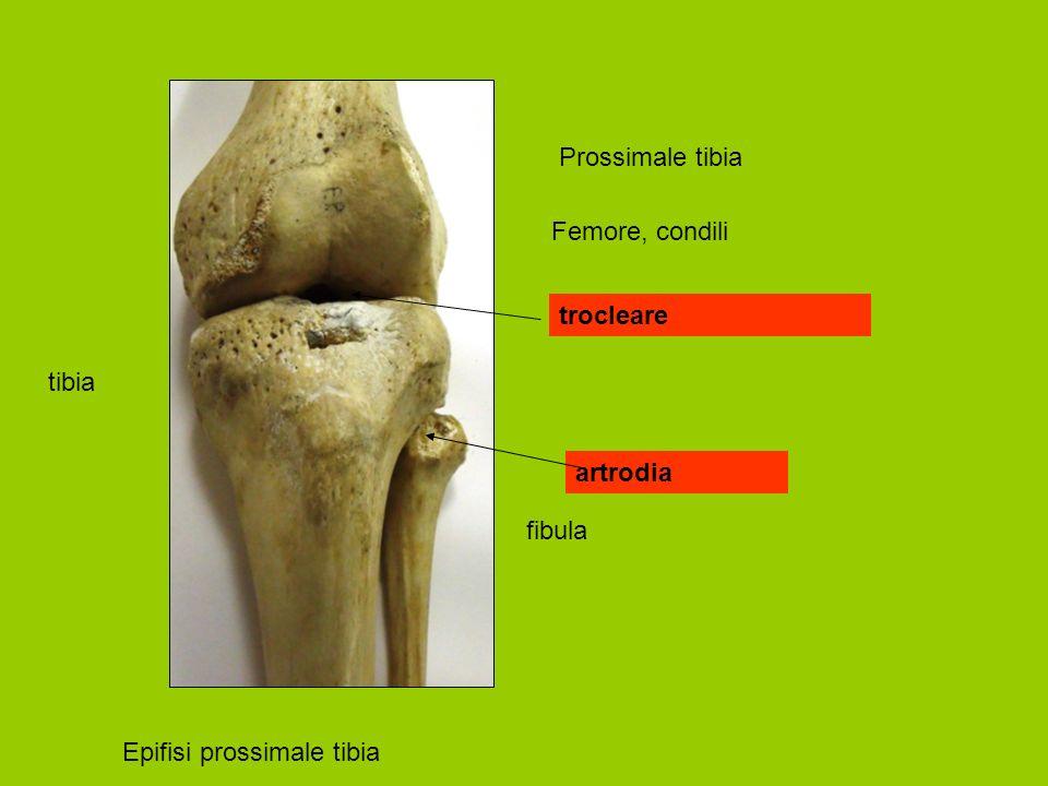 Prossimale tibia Femore, condili trocleare tibia artrodia fibula Epifisi prossimale tibia