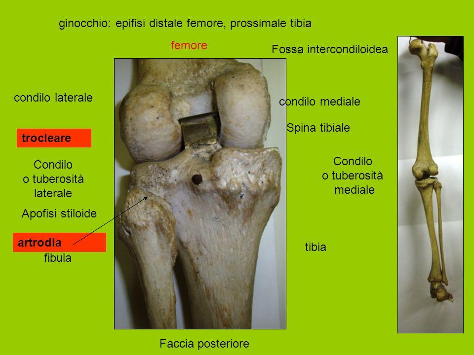ginocchio: epifisi distale femore, prossimale tibia